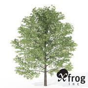 XfrogPlants Tatlı Birch 3d model