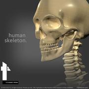 Human Skeletal System 3d model
