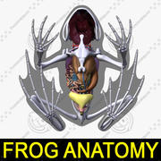 Anatomía de la rana modelo 3d