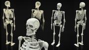 Скелет всего тела 3d model