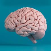 İnsan beyni 3d model