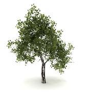 Birch tree # 6 3d model