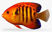 Flame angelfish 3d model