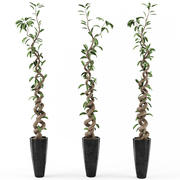 Ficus Tree 3d model