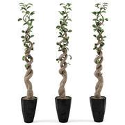 Ficus 2 3d model