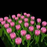 Pink Tulip 3d model
