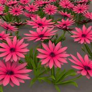Gazania flower garden 3d model