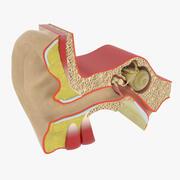 Anatomie van het oor 3d model