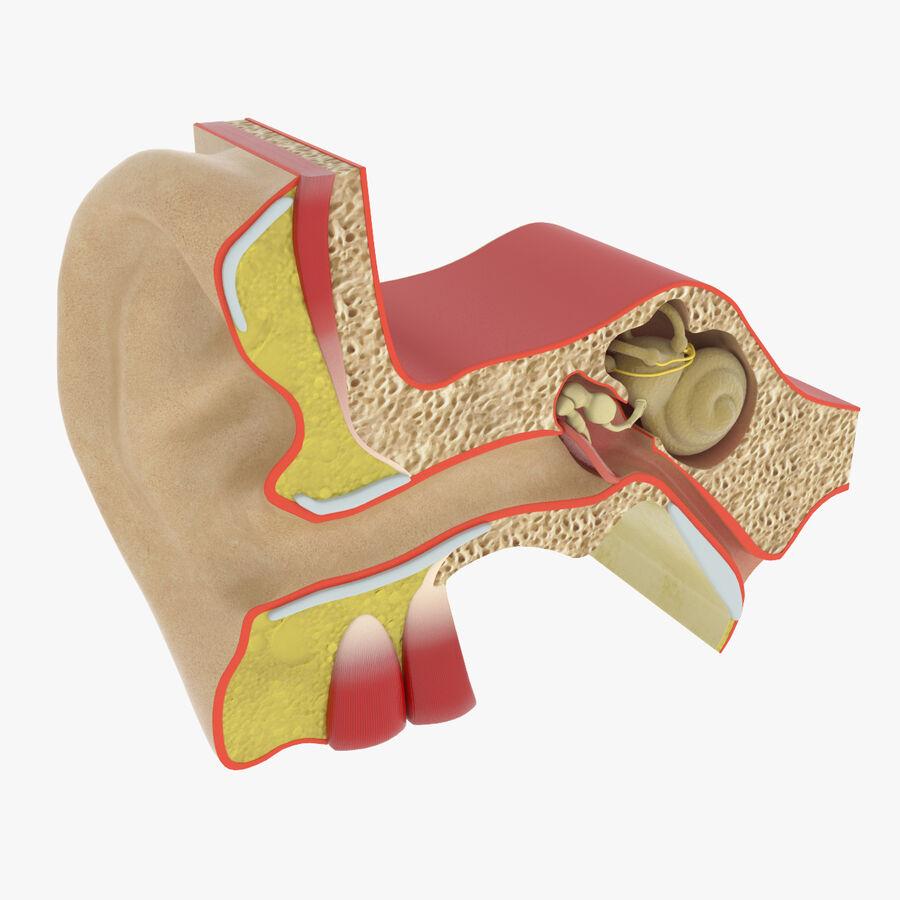 Anatomie van het oor royalty-free 3d model - Preview no. 1