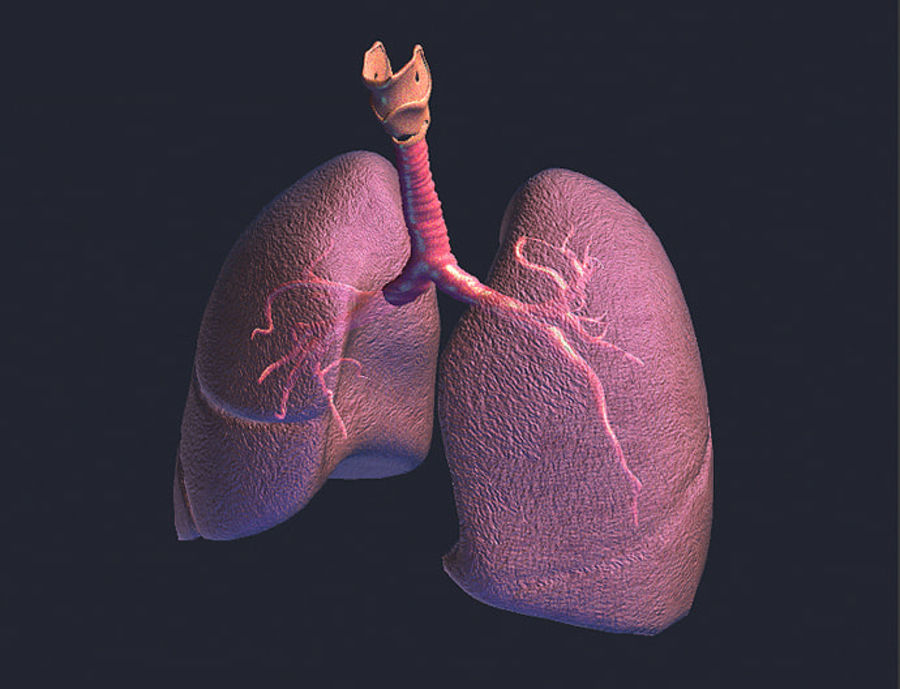 Realistic Lungs Animated royalty-free 3d model - Preview no. 6