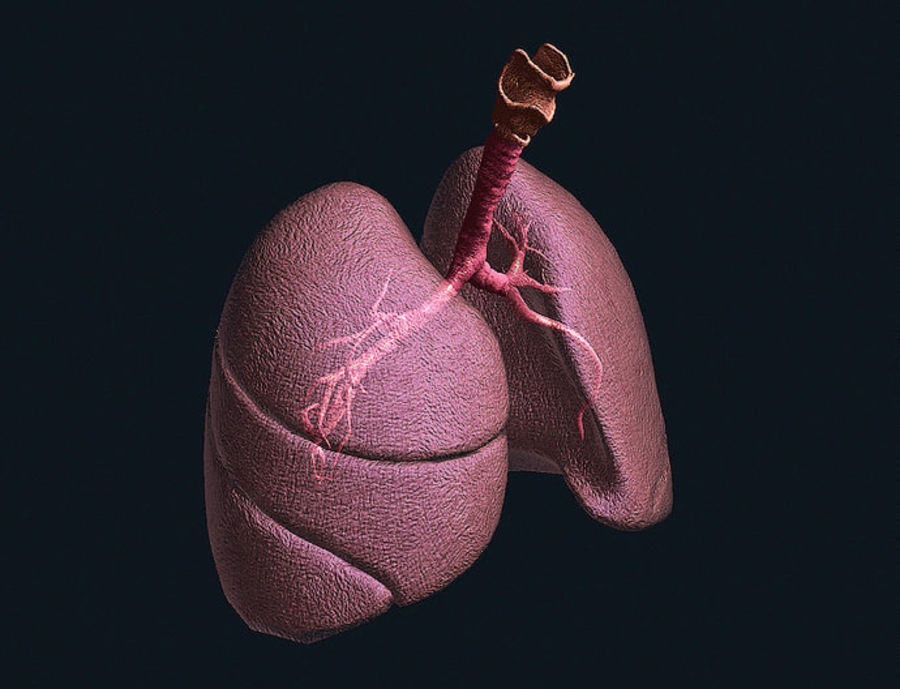 Realistic Lungs Animated royalty-free 3d model - Preview no. 7