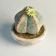 cactus Astrophytum myriostigma 3d model