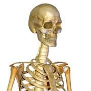 İnsan iskeleti 3d model