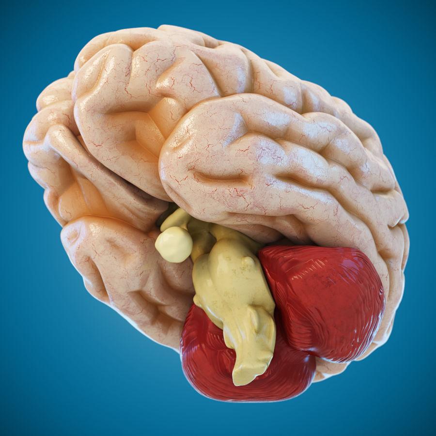 Anatomy Human Brain royalty-free 3d model - Preview no. 3