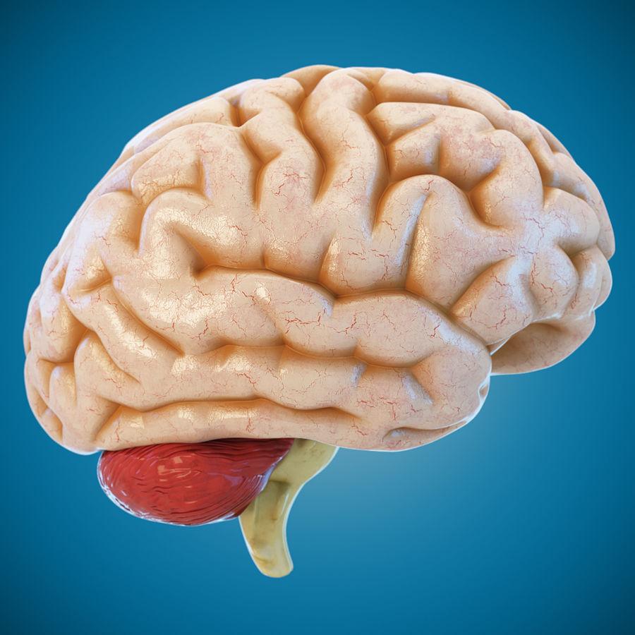 Anatomy Human Brain royalty-free 3d model - Preview no. 2