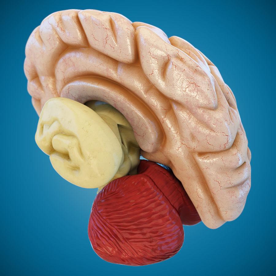Anatomy Human Brain royalty-free 3d model - Preview no. 5