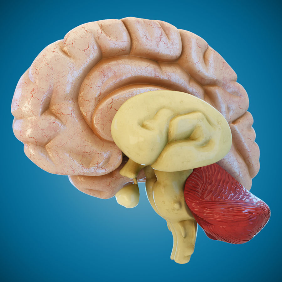 Anatomy Human Brain royalty-free 3d model - Preview no. 4