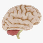 Anatomy Human Brain 3d model