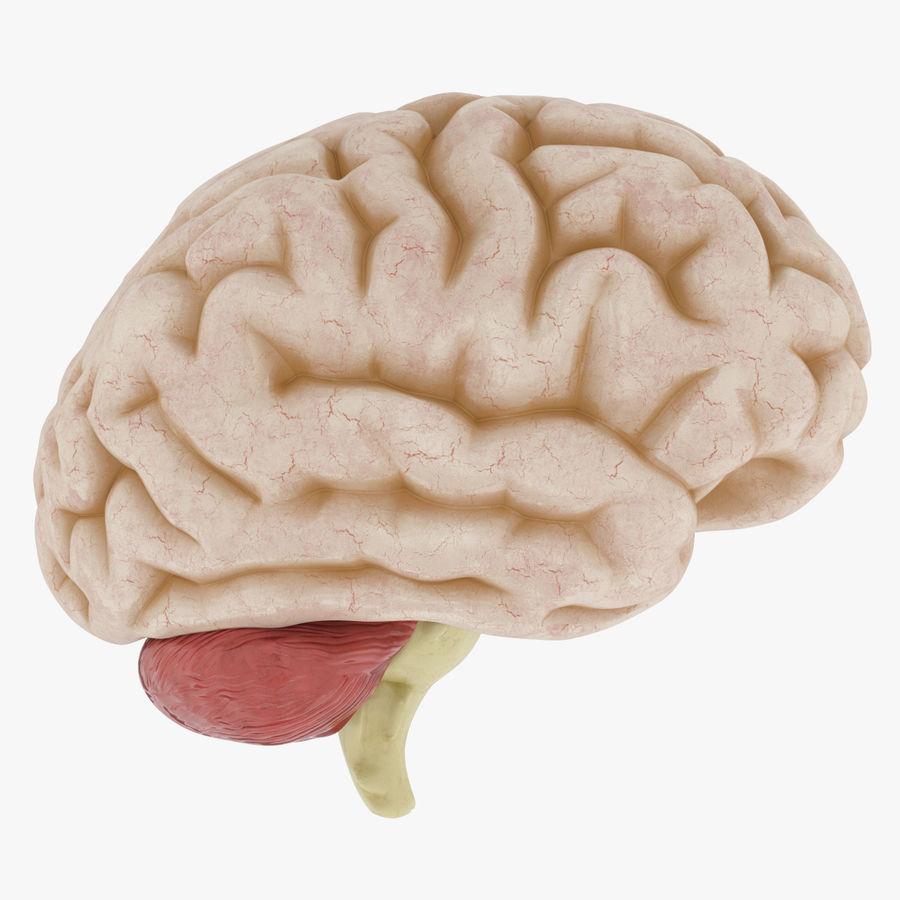 Anatomy Human Brain royalty-free 3d model - Preview no. 1