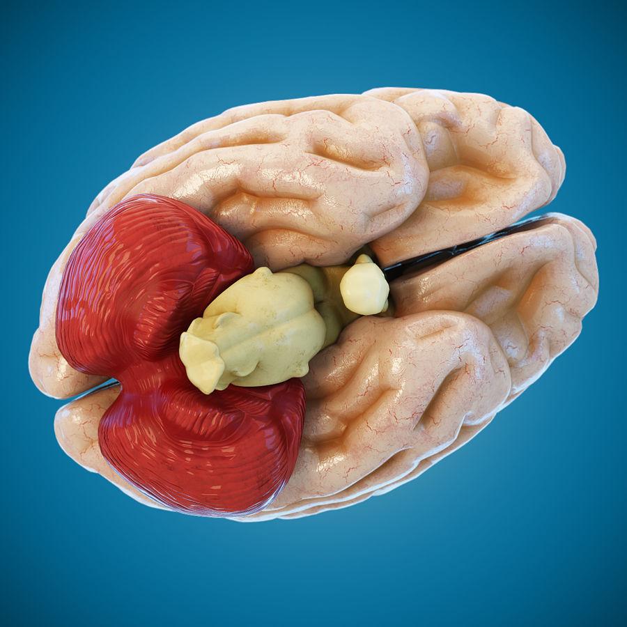 Anatomy Human Brain royalty-free 3d model - Preview no. 6