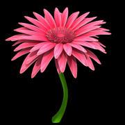 Gerbera pink white 3d model