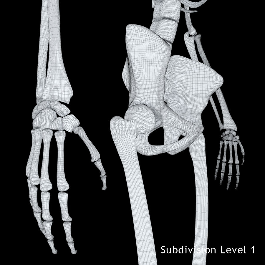 Anatomy Human Skeleton royalty-free 3d model - Preview no. 17