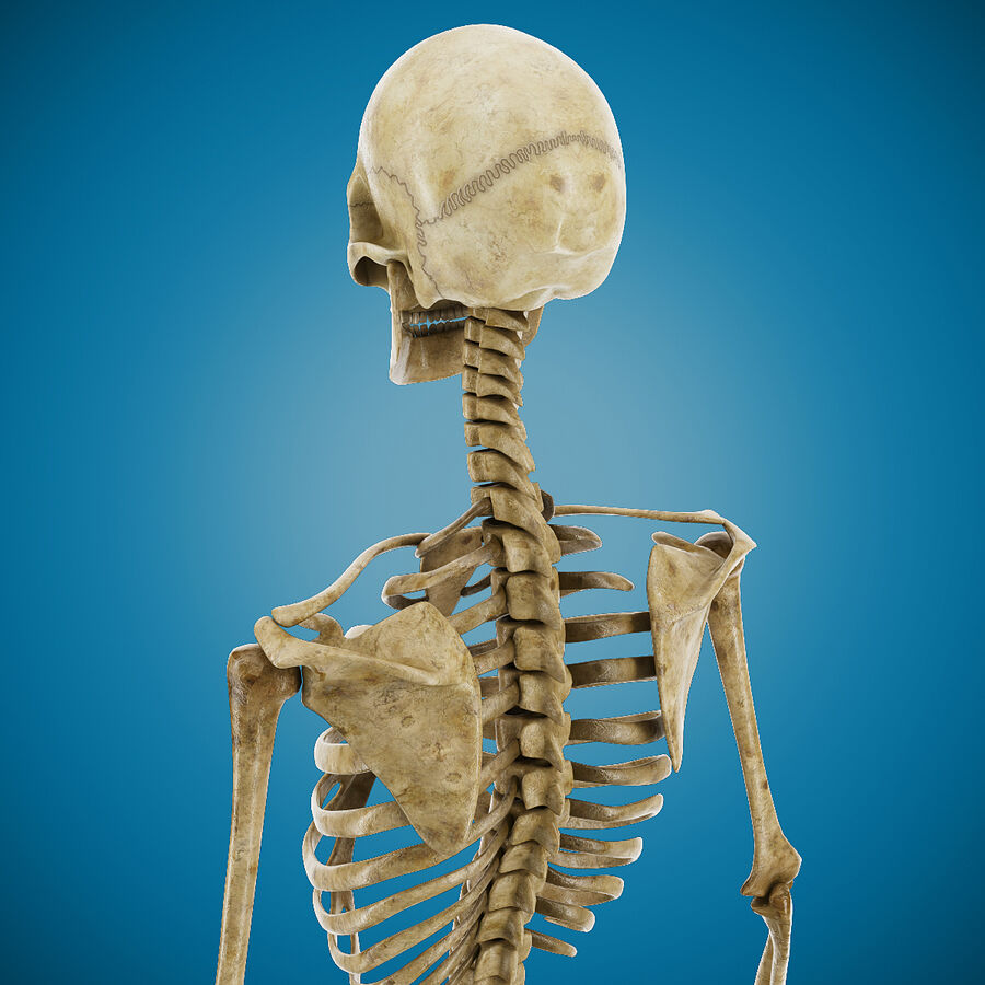 Anatomy Human Skeleton royalty-free 3d model - Preview no. 6