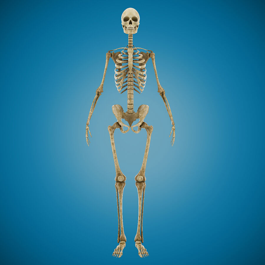 Anatomy Human Skeleton royalty-free 3d model - Preview no. 2