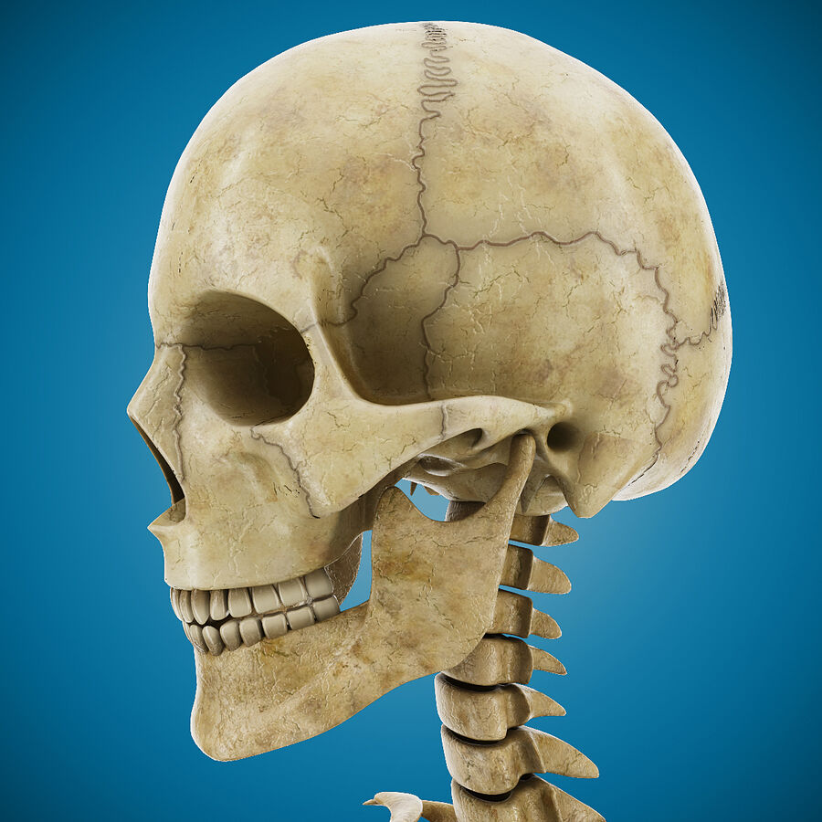 Anatomy Human Skeleton royalty-free 3d model - Preview no. 4