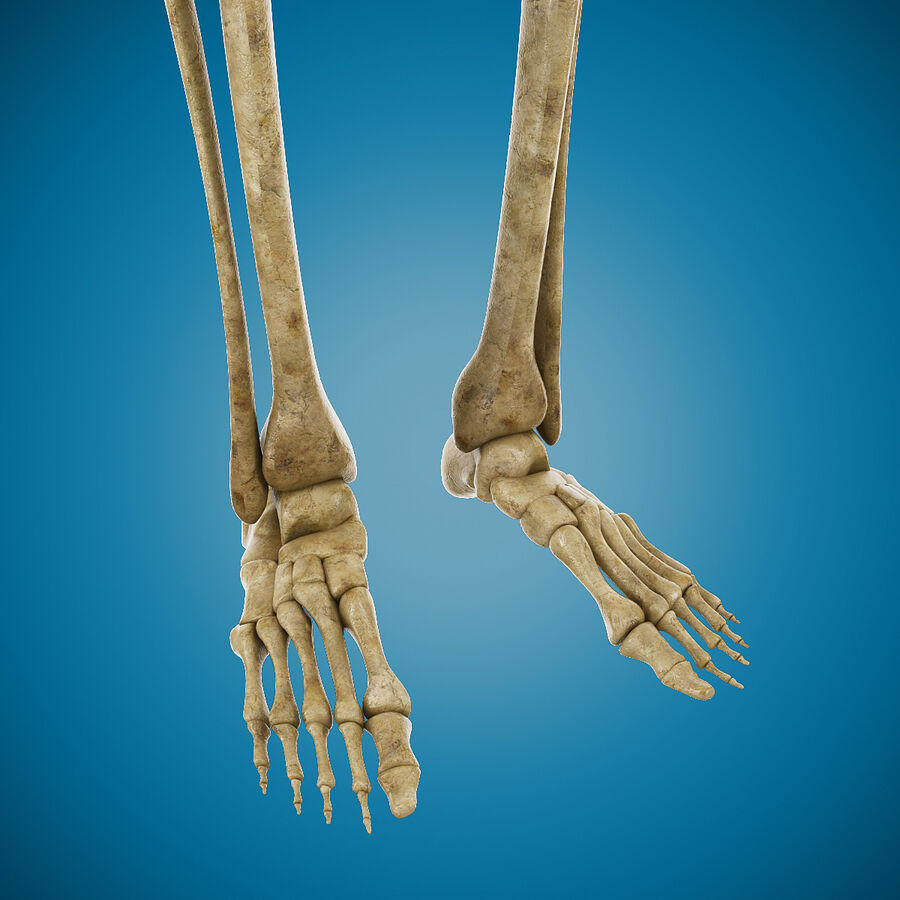 Anatomy Human Skeleton royalty-free 3d model - Preview no. 8
