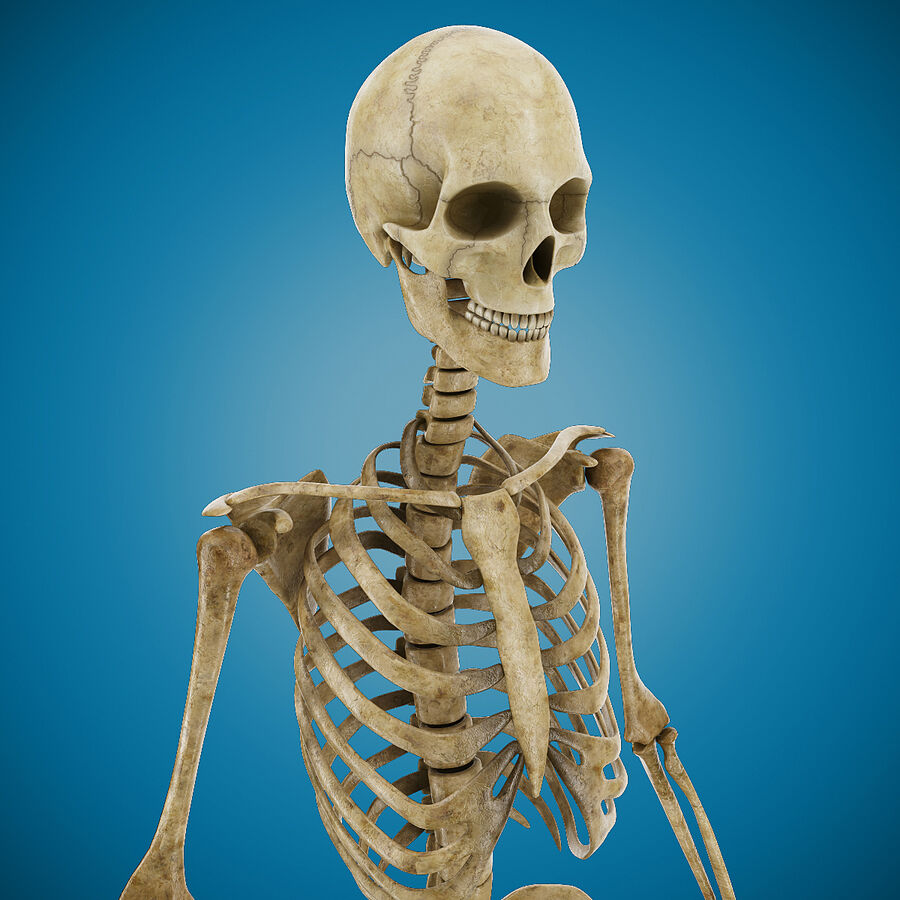 Anatomy Human Skeleton royalty-free 3d model - Preview no. 7