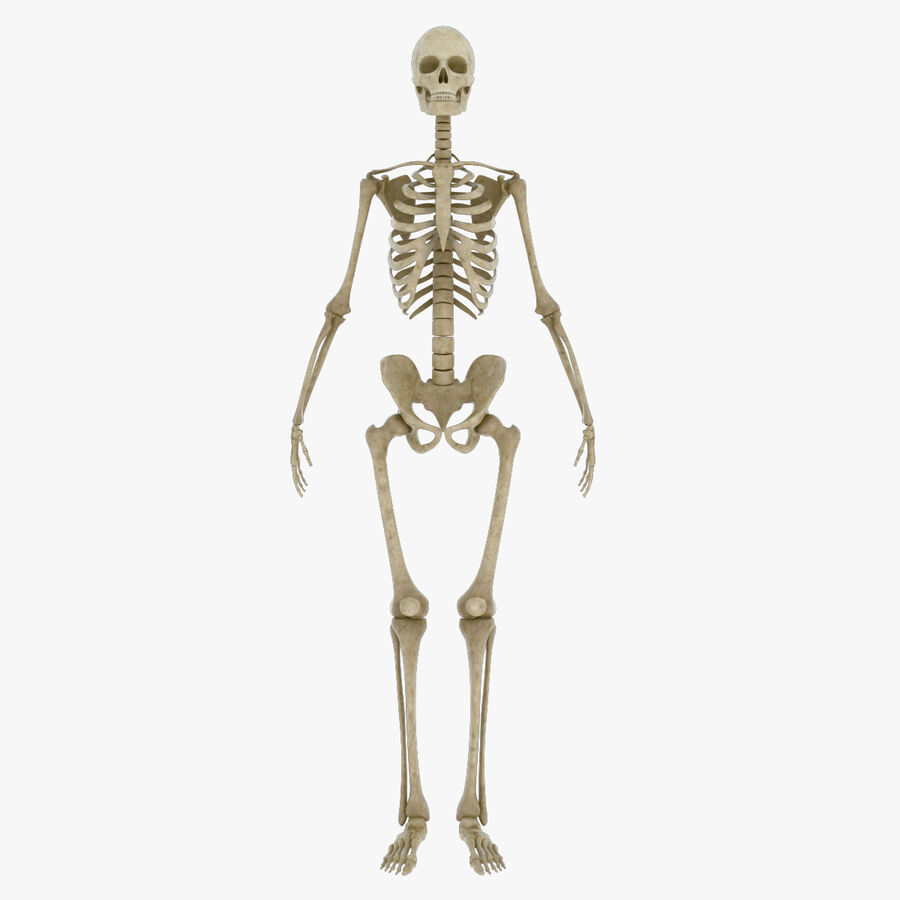 Anatomy Human Skeleton royalty-free 3d model - Preview no. 1