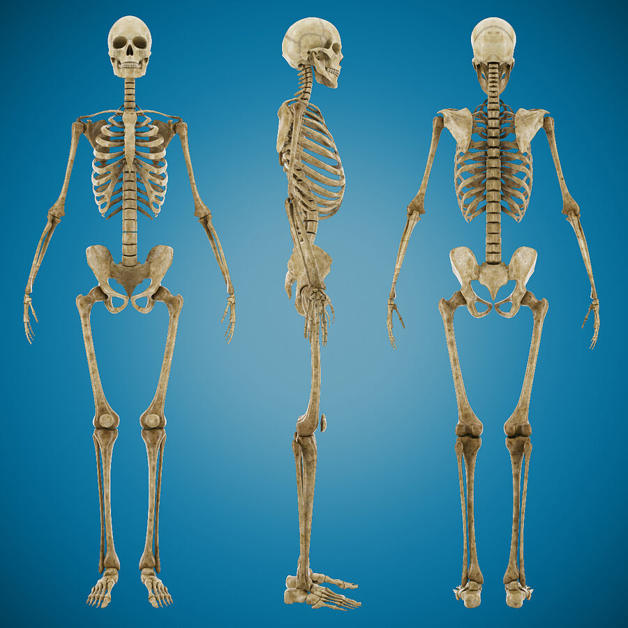 Anatomy Human Skeleton royalty-free 3d model - Preview no. 3