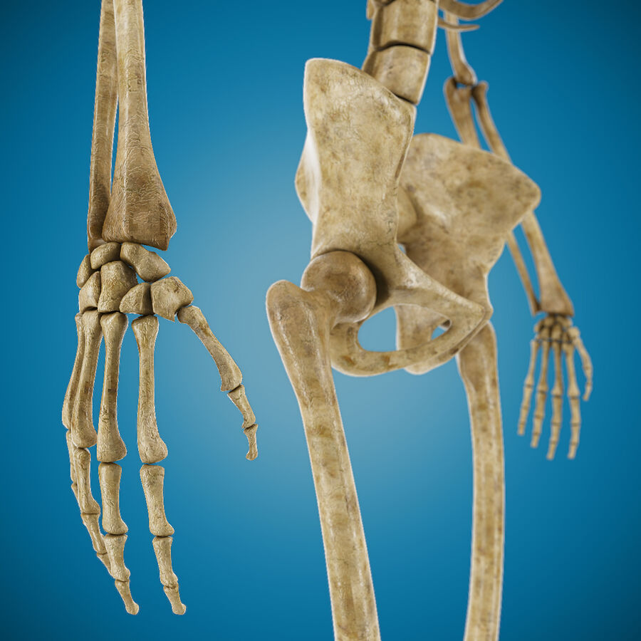 Anatomy Human Skeleton royalty-free 3d model - Preview no. 5