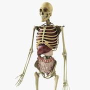 Opgetuigd skelet met organen 3d model