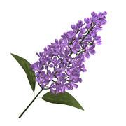 紫丁香 3d model