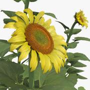 Common Sunflower Set 3d model