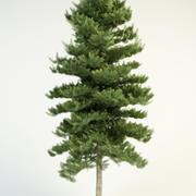 abies concolor 16 white fir 3d model