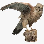 Taxidermy 02. Small Falcon 3d model