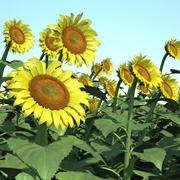 Gemeinsames Sonnenblumenfeld 3d model