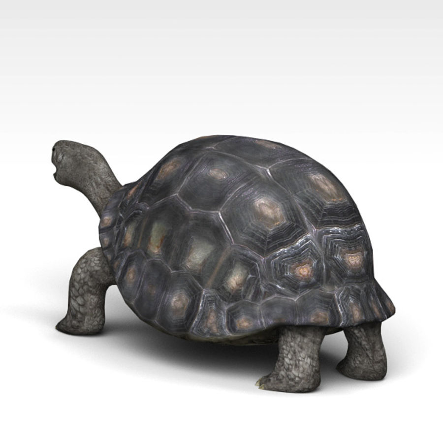 Tortuga royalty-free modelo 3d - Preview no. 3