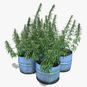 Cannabis Sativa Potted Plants Set 3d model