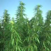 Champ de Cannabis Sativa 3d model