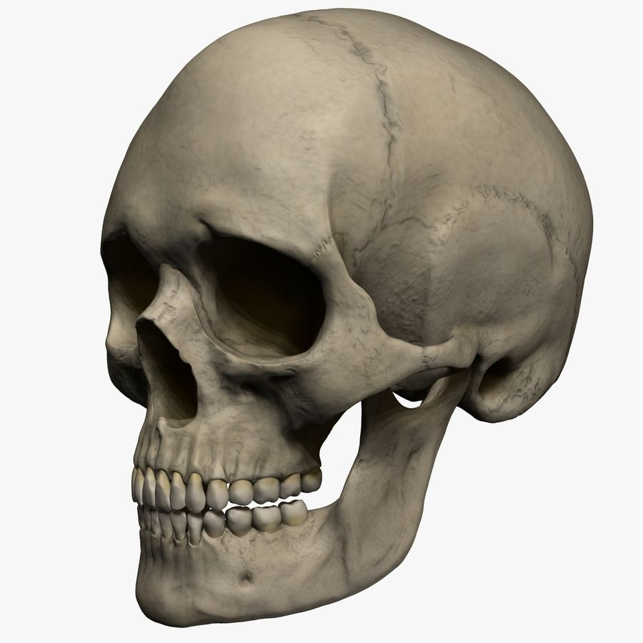 Caucasoid Female Skull Zbrush royalty-free 3d model - Preview no. 10