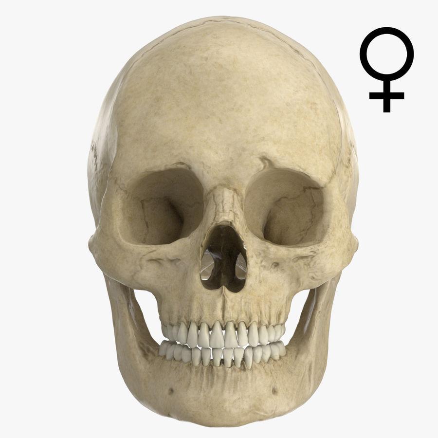 Caucasoid Female Skull royalty-free 3d model - Preview no. 1