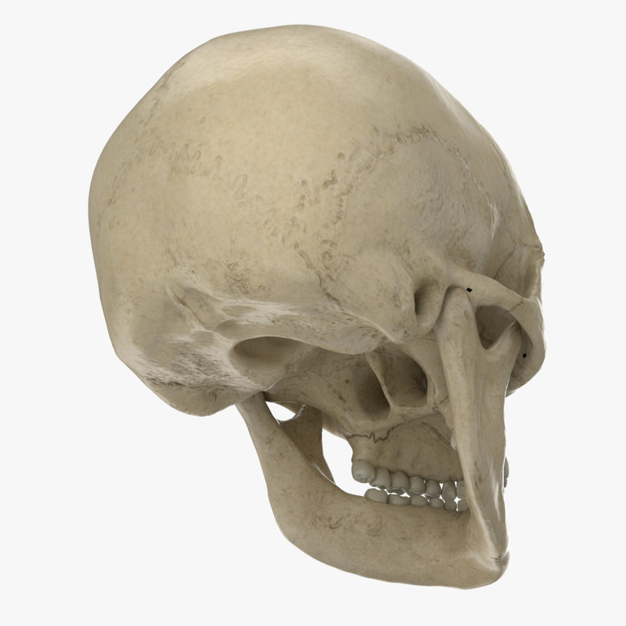 Caucasoid Female Skull royalty-free 3d model - Preview no. 7