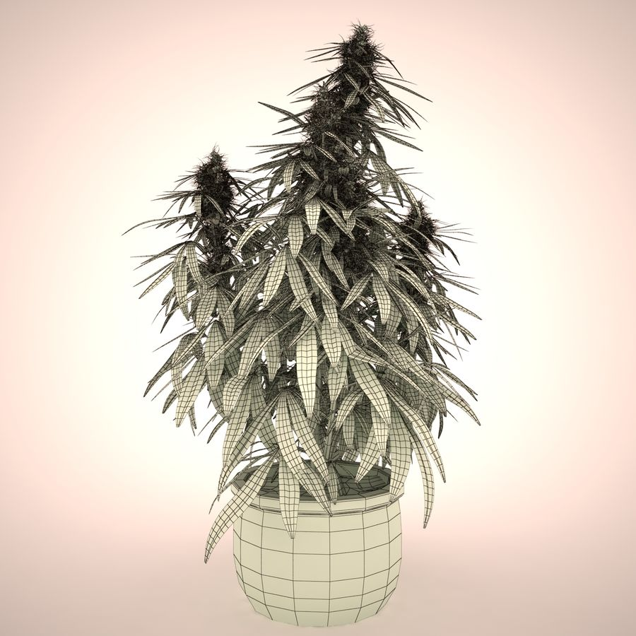 Cannabis Sativa Home Plant royalty-free 3d model - Preview no. 7