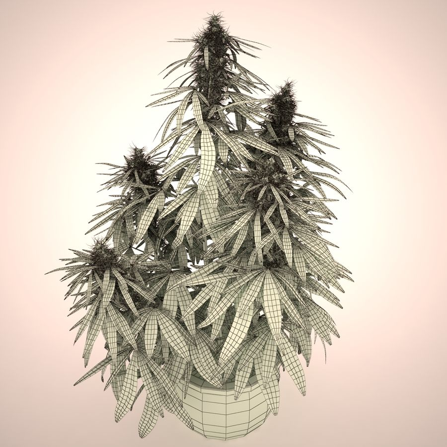 Cannabis Sativa Home Plant royalty-free 3d model - Preview no. 9