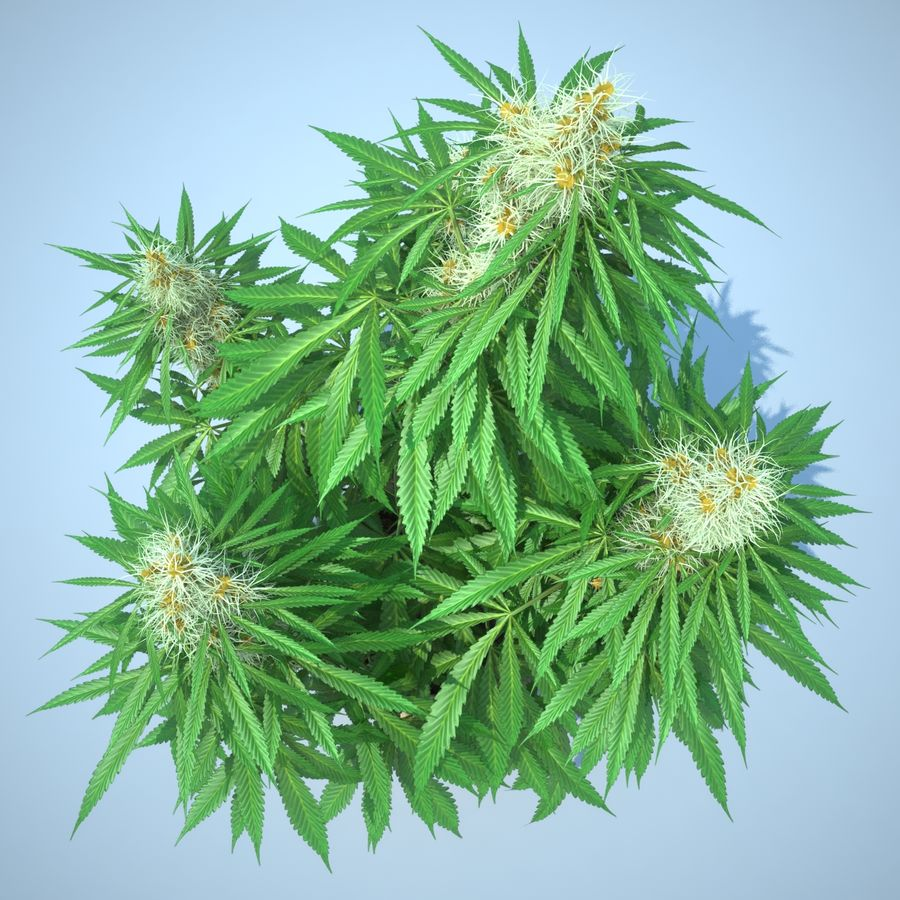 Cannabis Sativa Home Plant royalty-free 3d model - Preview no. 12
