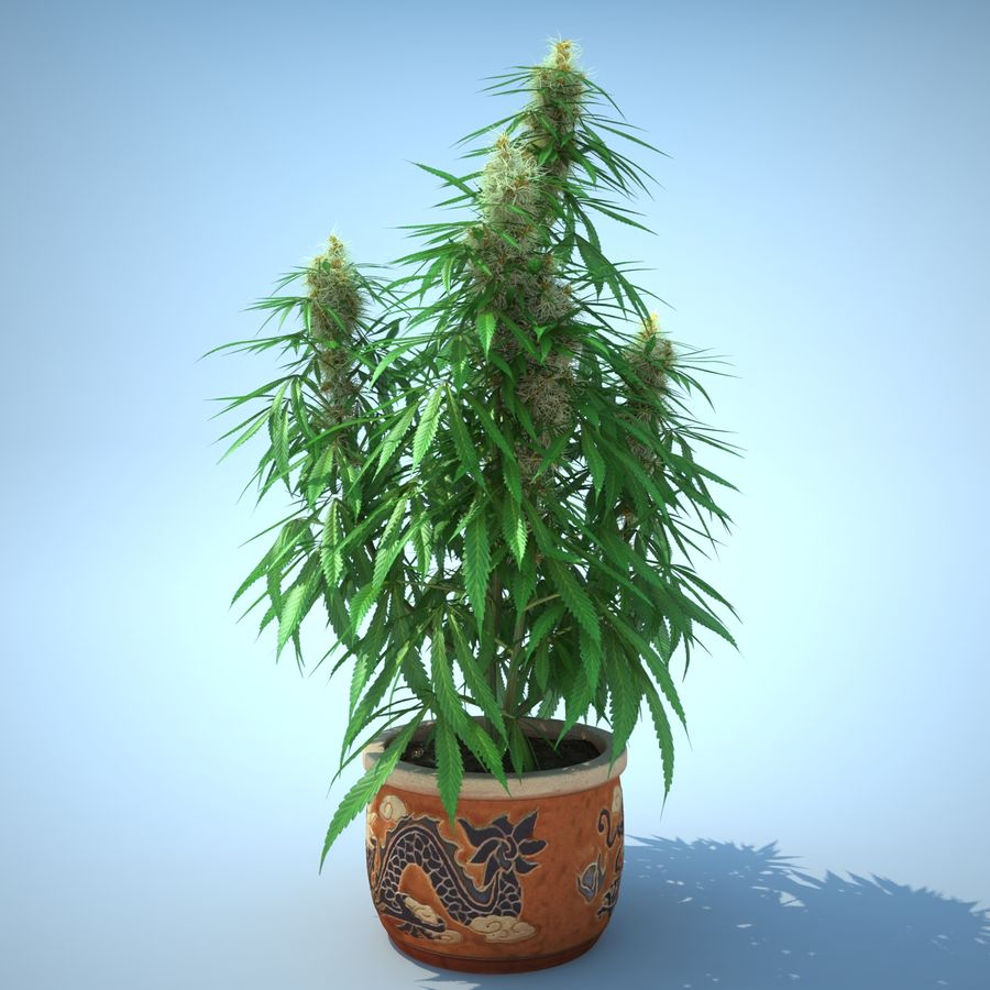 Cannabis Sativa Home Plant royalty-free 3d model - Preview no. 6